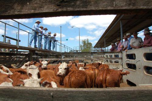 cattle sale39