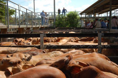 cattle sale51