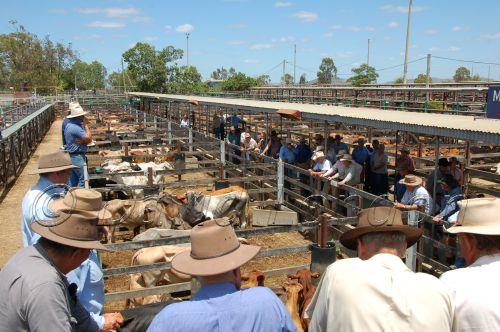 cattle sale84