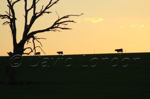 cattle sunset04