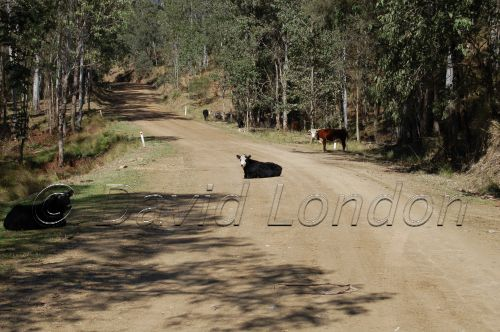 cow-on-dirt-road