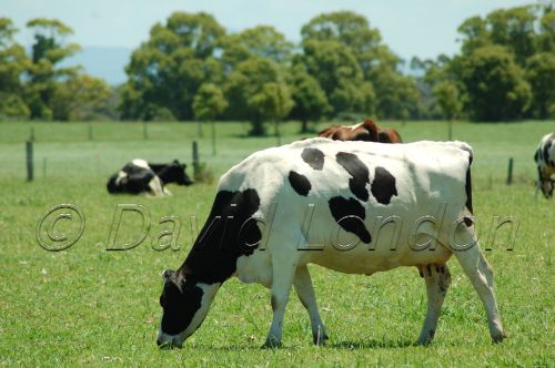 dairy friesians55