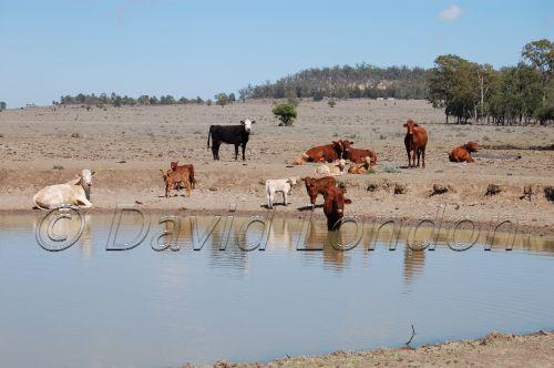 dam-cattle72