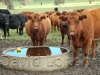 cattle-at-trough08