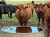 cattle-at-trough10