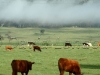 cattle-mist11
