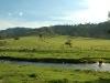 cattle-stream49