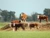cattle dam88