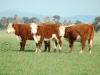 cattle pasture91
