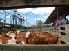 cattle sale39