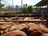 cattle sale51