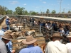 cattle sale84