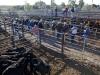 cattlesaleyard221