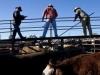 cattlesaleyard230