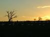 cattle sunset94