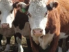 herefords-in-yard70