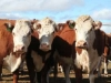 herefords-in-yard98