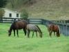 mare-foals-graze15