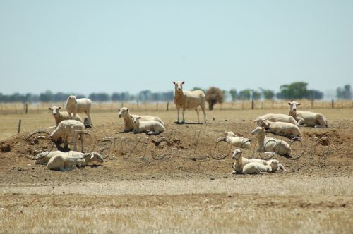 sheep drought85