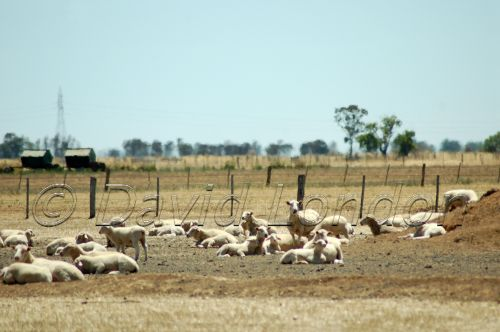 sheep drought87