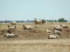 sheep drought85