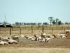 sheep drought87
