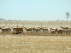 sheep drought91