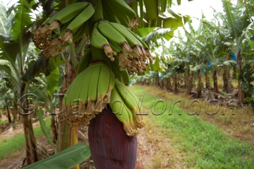 bananas11