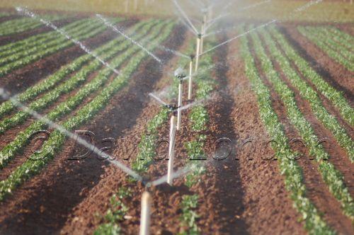 lettuce-irrigation06