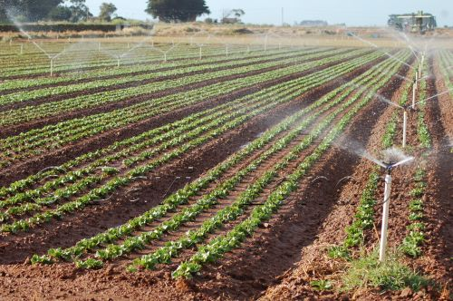 lettuce-irrigation08