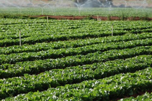 lettuce-irrigation13