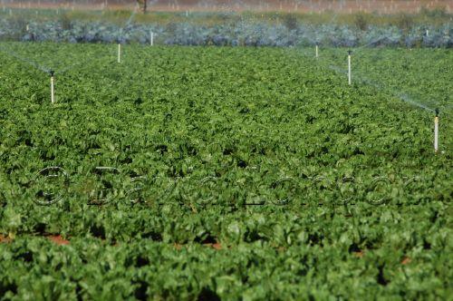lettuce-irrigation17