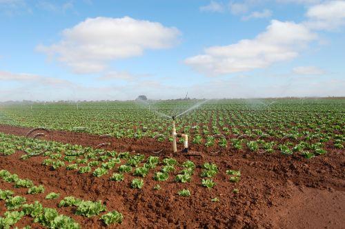 lettuce-irrigation46