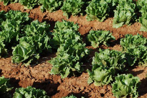 lettuce16