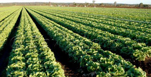 lettuce79