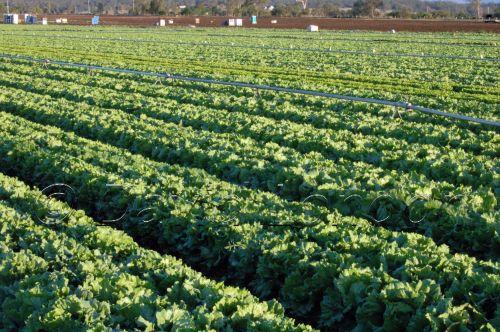 lettuce80