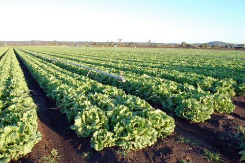 lettuce81