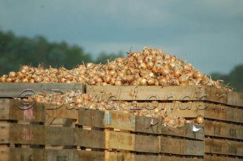 onion harvest01