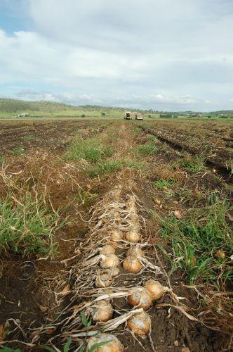 onion harvest08