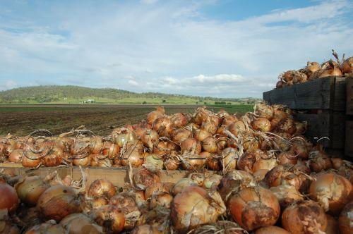 onion harvest28