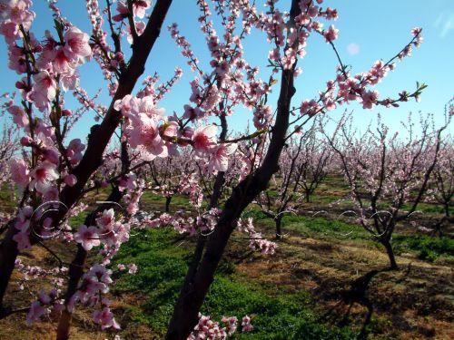 peach-blossom15