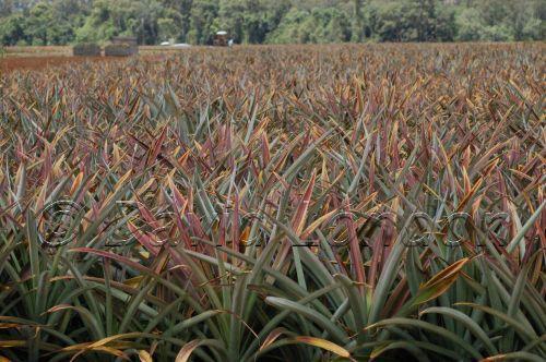 pineapples07