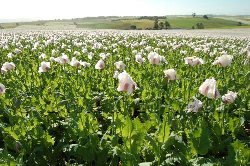 poppies92