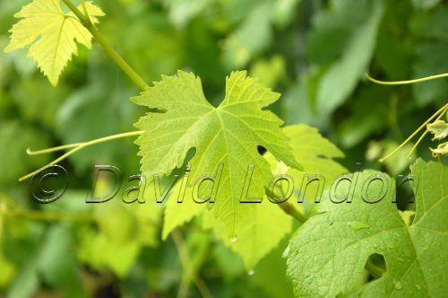 shiraz-leaf-cu54