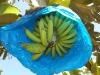 bananas30