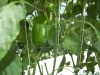 capsicum-hothouse41