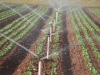 lettuce-irrigation06