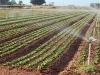 lettuce-irrigation08