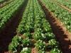 lettuce18