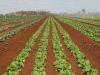 lettuce49